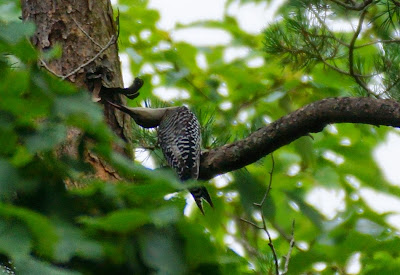 red-bellied woodpecker twisting to reach tree trunk