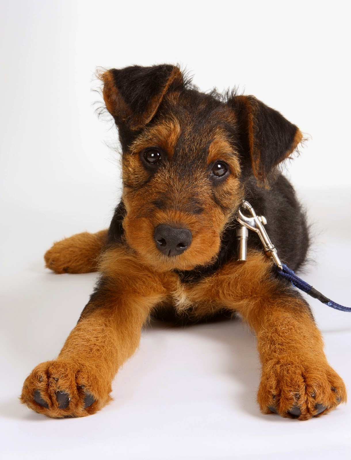 how to potty train a puppy, how to potty train a puppy fast, how to potty train dog, how to train a dog