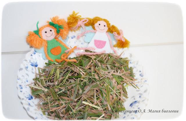 cimbopogon-citronella-lemongrass-kak-vyrastit-na-podokonnike-чай из цитронеллы