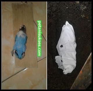 indukan lovebird jantan mati
