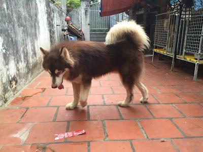 Hướng dẫn chế độ ăn cho chó alaska có bộ lông óng mượt