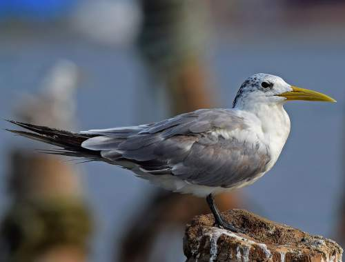 Birds of India - Photo of Lesser crested tern - Thalasseus bengalensis juvenile