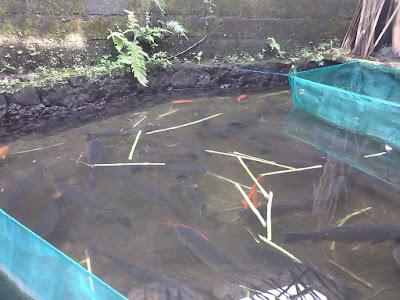 Fakta Unik Ikan Grass Carp (Graskap - Braskap - Baskap)