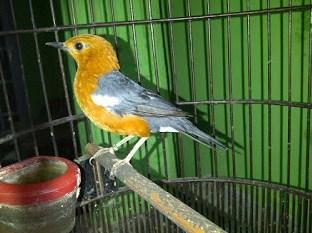Burung Anis Merah Belum Pasti Jantan, Betina