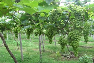 Cara Budidaya Anggur Berkualitas Super