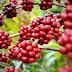 Futuro da cafeicultura de Rondônia está na qualidade e abertura de novos mercados