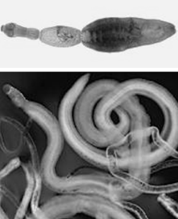 Makalah Platyhelminthes