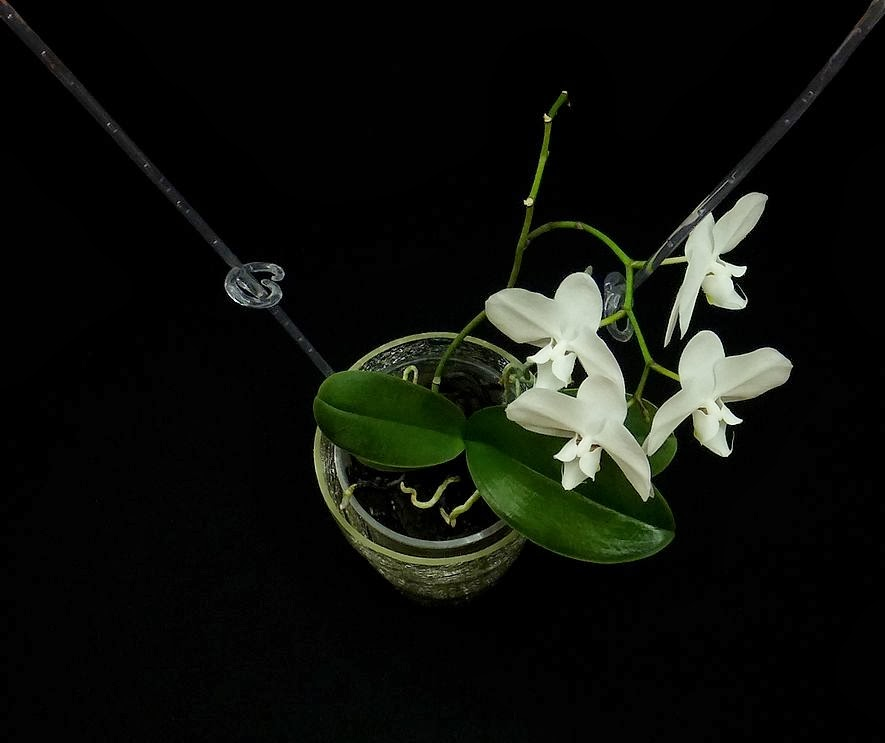 kwiaty storczyka