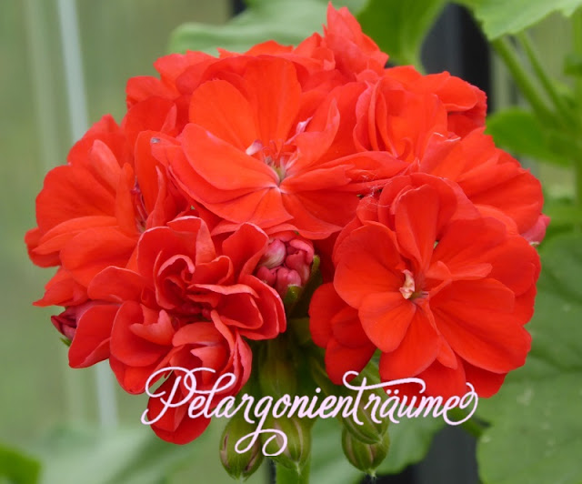 orange-Rose-Rosenpelargonie-Anna-Britta-Pelargonienträume