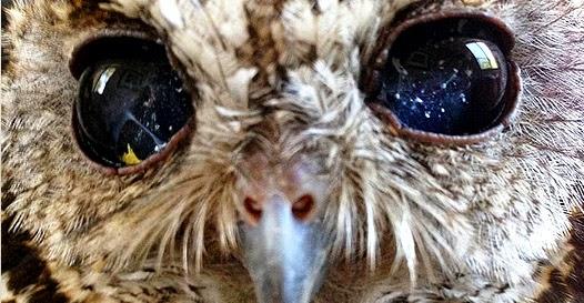 Zeus, a coruja que tem o Universo nos olhos
