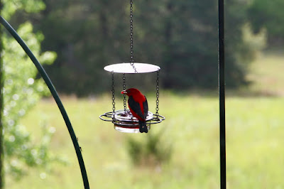 male scarlet tanager at grape jelly feeder