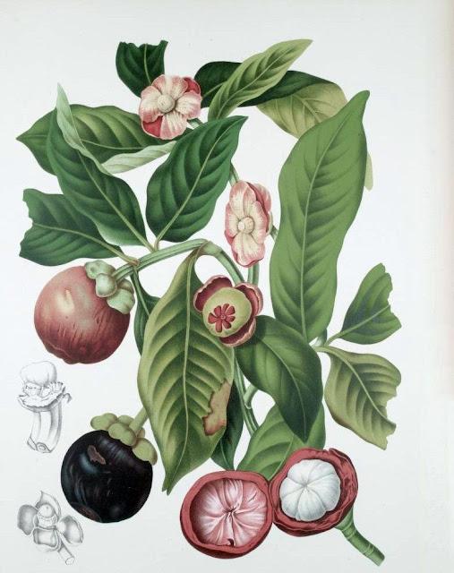 Măng Cụt - Garcinia mangostana - Nguyên liệu làm thuốc Chữa Bệnh Đi lỏng-Đau Bụng