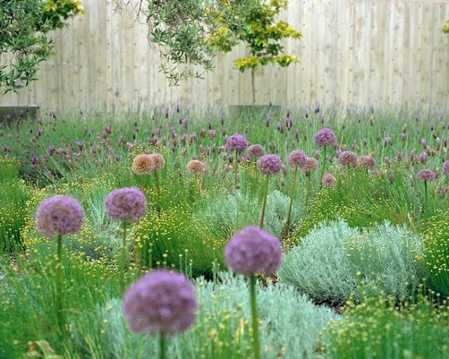 gradina flori perene ceapa decorativa allium design gradina moderna arhtiect peisagist firma peisagistica amenajare curte moderna