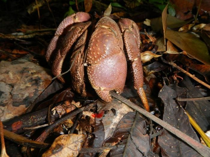 giant coconut crab facts - photo #19