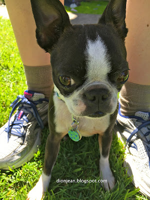 Boston terrier ready for her walk