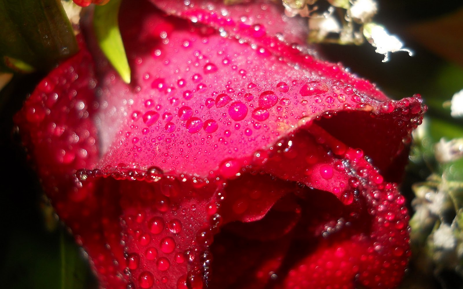 Hd Wallpaper Girl Love Beautiful Roses For Most Beautiful Girl In The Universe