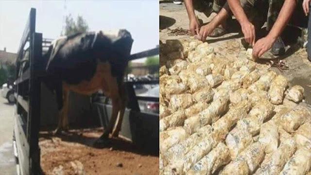 Hallan vaca repleta de municiones para terroristas en Damasco