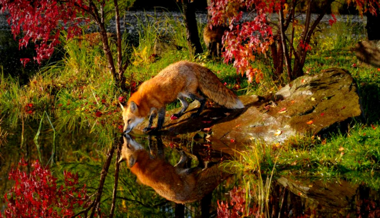 Fall Leaves Fox Wallpaper Red Fox Wallpaper All Hd Wallpapers Gallerry