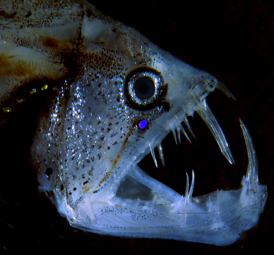 2016 Nikon Macro Photo Contest Winners Show The World Like You've Never Seen Before - Viperfish