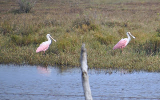 two roseat spoonbill birds