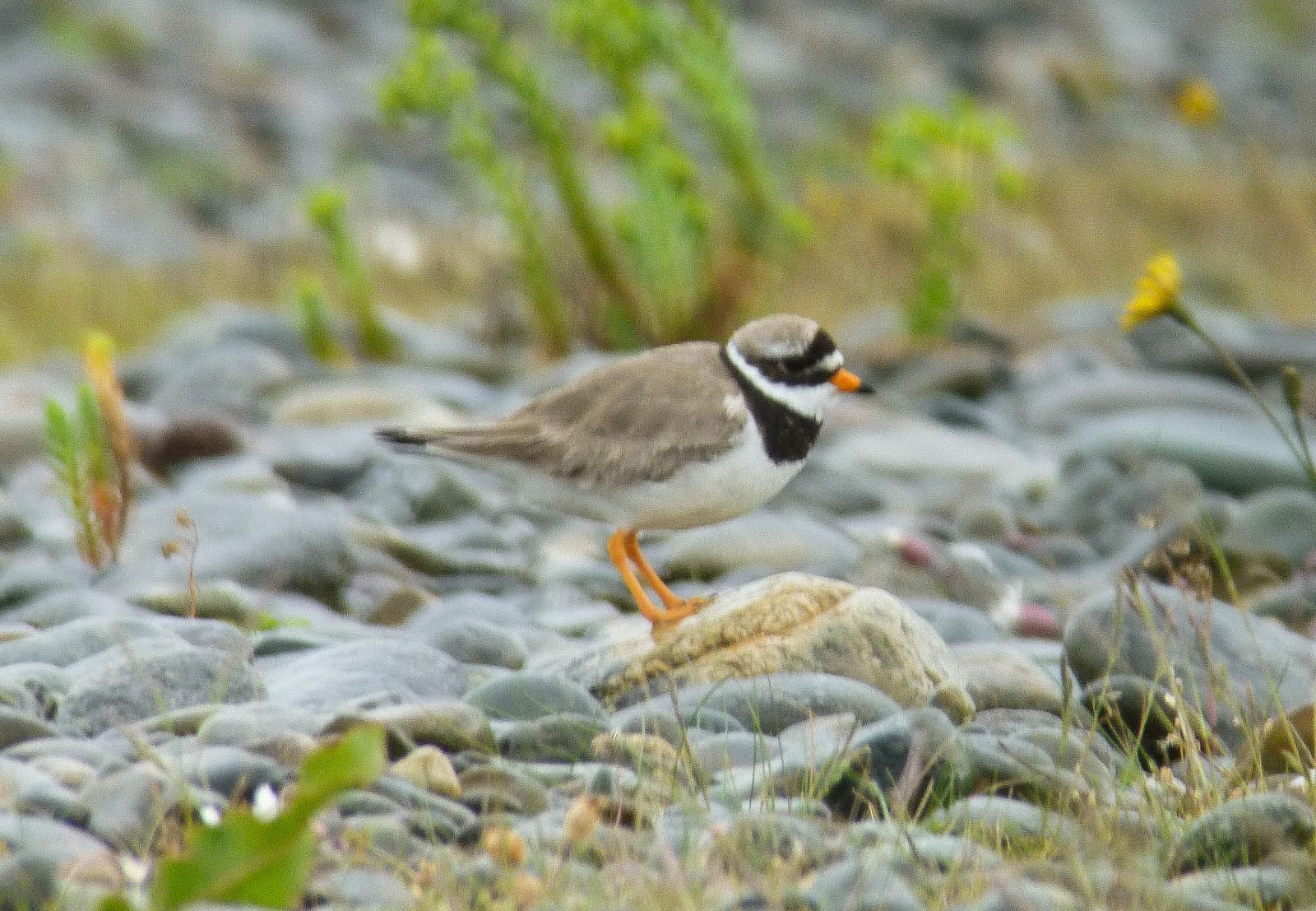 We Bird North Wales Charadrius Hiaticula Vs Psammadrama