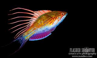 Paracheilinus Jenis Ikan Kecil Lautan yang Mempesona