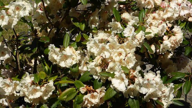 Rododendron in de lente