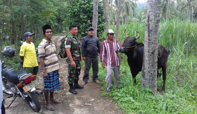 Seekor sapi ditemukan warga dan anggota koramil