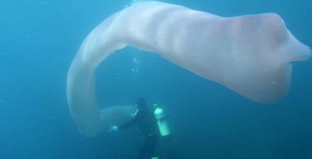 Παράξενο τεράστιο θαλάσσιο πλάσμα κολυμπούσε δίπλα σε δύτες (βίντεο)