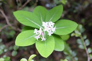 シャクナンガンピ、屋久島の植物
