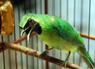 Khasiat Dan Manfaat Pemberian Buah Belimbing Untuk Burung Cucak Ijo Yang Sudah Terbukti