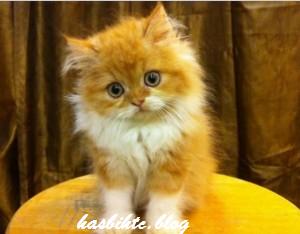 Cara terbaru Merawat Kucing Persia