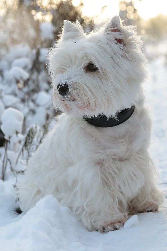 Beautiful winter scene with white scotty terrier in snow
