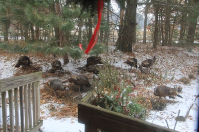 wild turkeys in the front yard