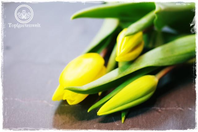 Gartenblog Topfgartenwelt Valentinstag: drei gelbe Tulpen auf Schieferplatte