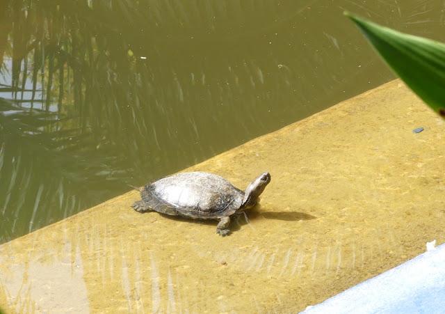 Schildkröte im Jardin Majorelle, Marrakesch