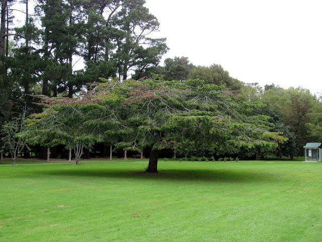 Árbol de Queens Park, en Invercargill