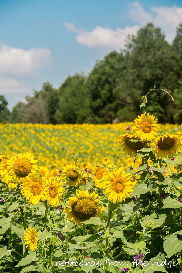Dreamy field of sunflowers. Love this!!