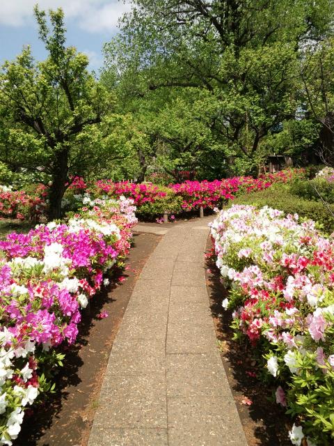 世田谷区梅ヶ丘にある羽根木公園で咲いていた、ツツジの花の写真です。