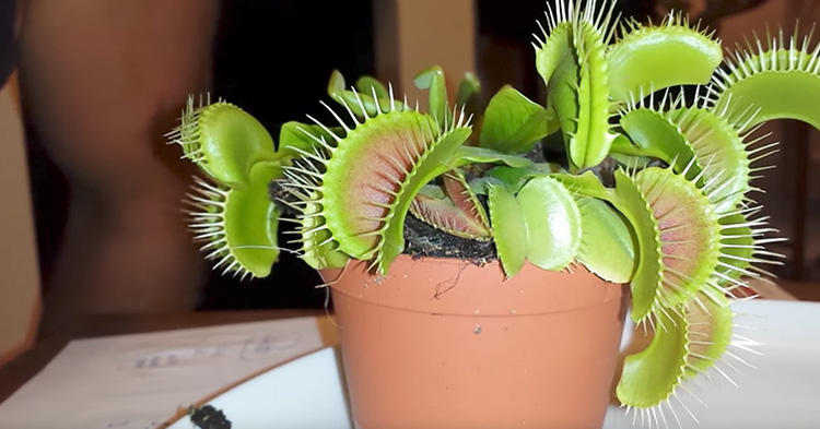 The Venus Flytrap that the man licked for its nectar.