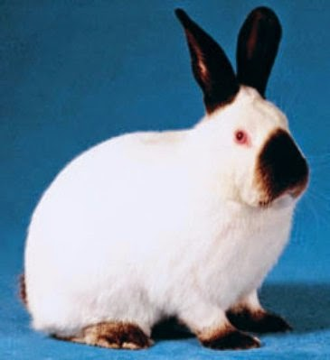californian-rabbits_654215