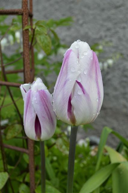 Vi feirer tulipanene dag - Tulipan etter regn