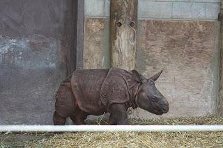 Indian Rhino Baby.