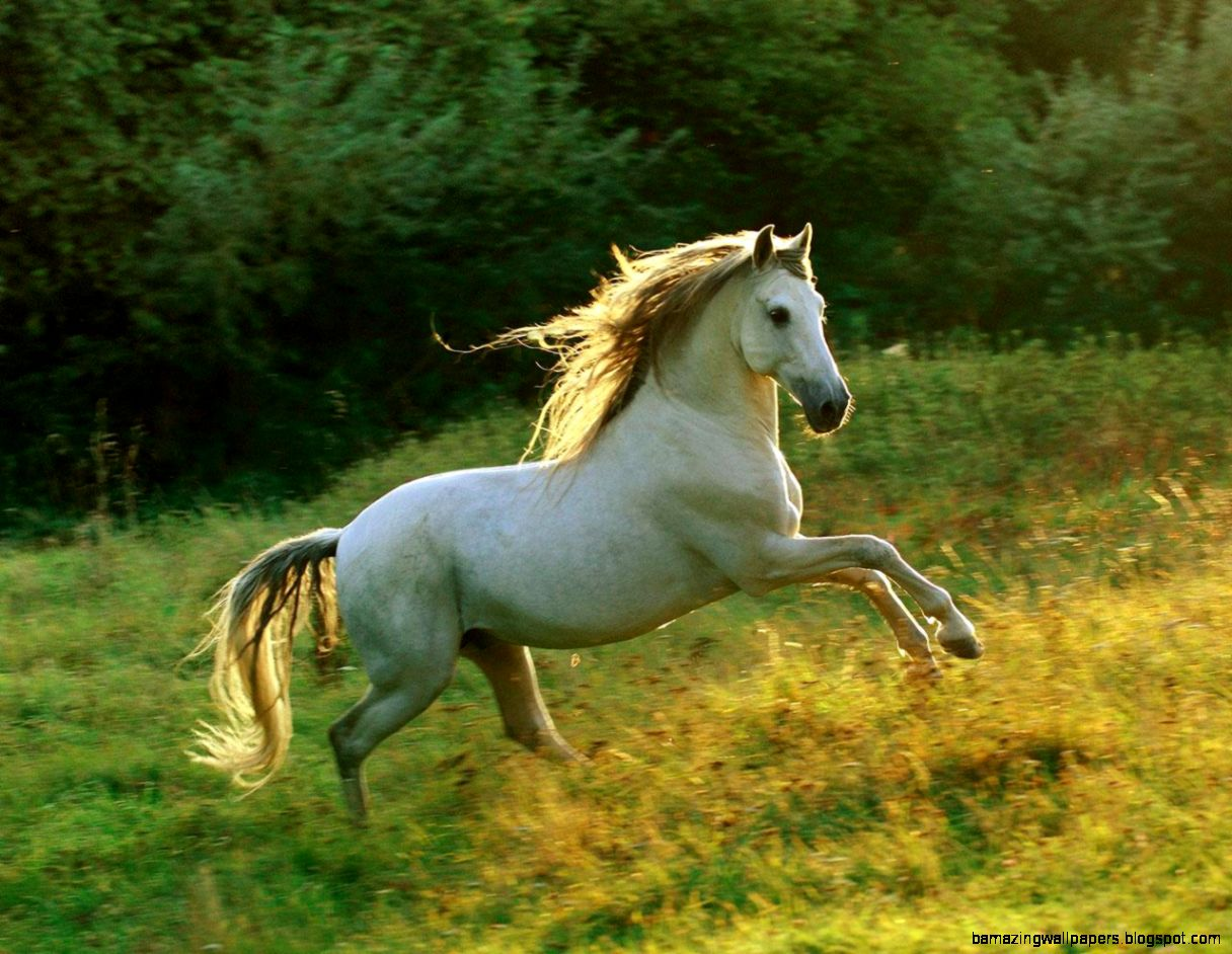 White Andalusian Horse Wallpaper | Wallpapers Gallery