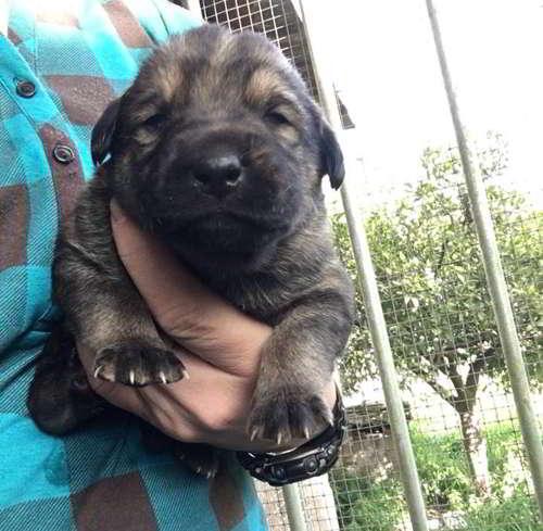 cachorros cruce pastor labrador 3