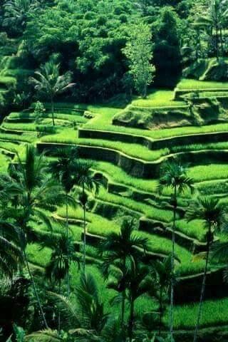 Pemandangan Sawah Hijau di Desa Padi Mulai Menguning