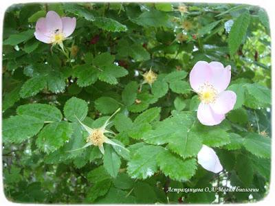 цветущий шиповник, опадающие лепестки