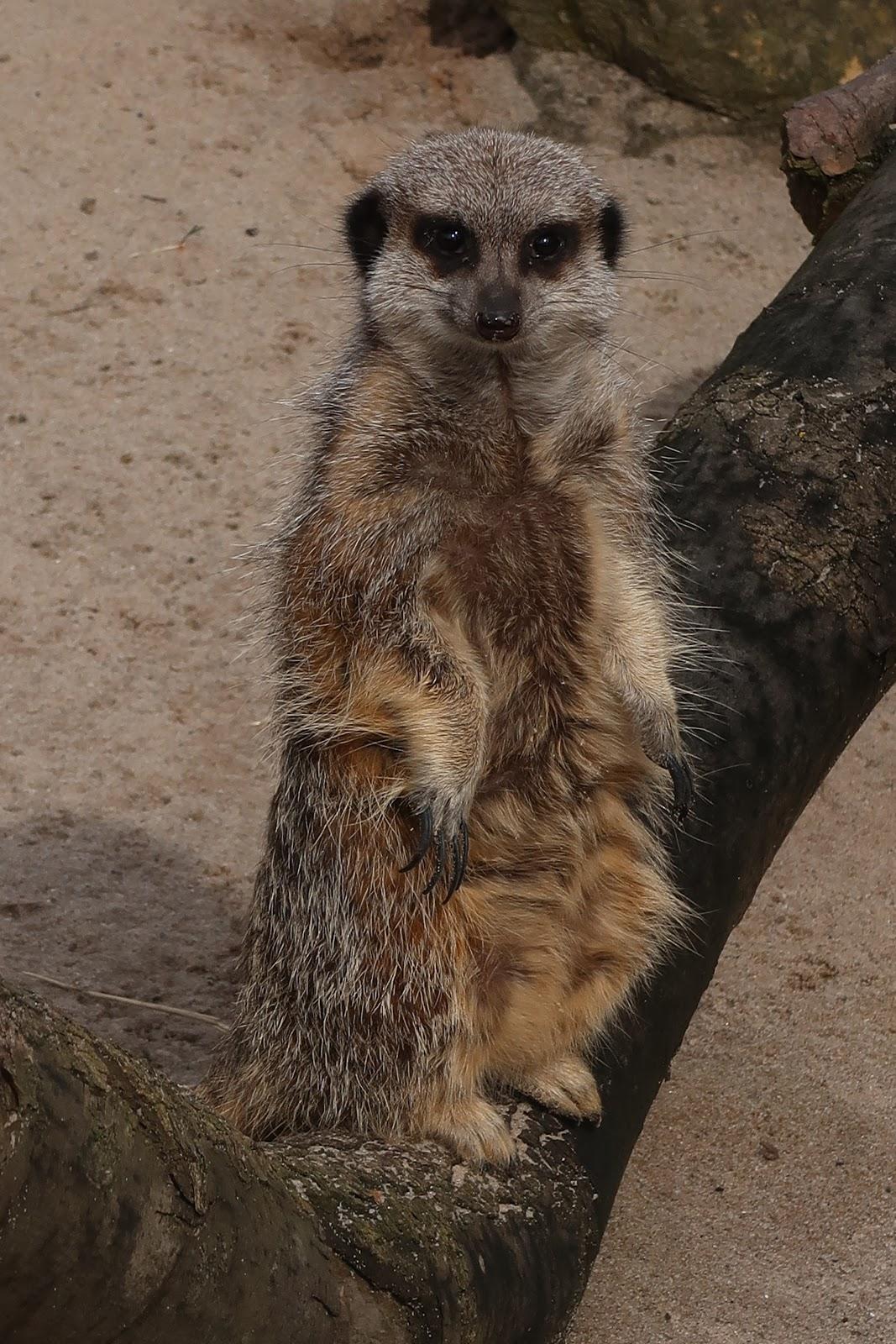 Meerkats Wigfield Farm Barnsley