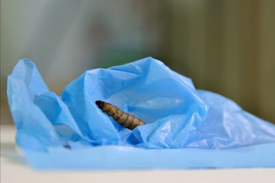 Moth caterpillar gobbles plastic: scientists