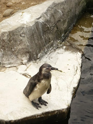 manchot , Humboldt ,,péruvien, ,Patranca, Spheniscus humboldti, Humboldt Penguin, Peruvian Penguin, Chilean Penguin, Jackass Penguin, Pingüino de Humboldt, Pájaro niño  ,Patranca  , ), pingwin peruwiański, Pinguino di Humboldt, Гумбольдтов пингвин, ンボルトペンギン, 秘鲁企鹅,louisette, blogs,